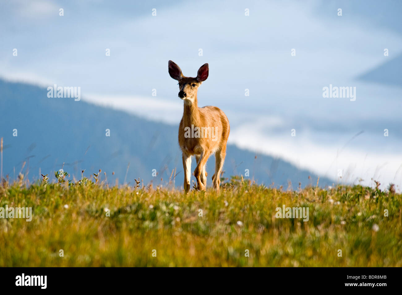 Hirsch in Hurricane Ridge, Olympic Nationalpark, Washington, USA Stockbild