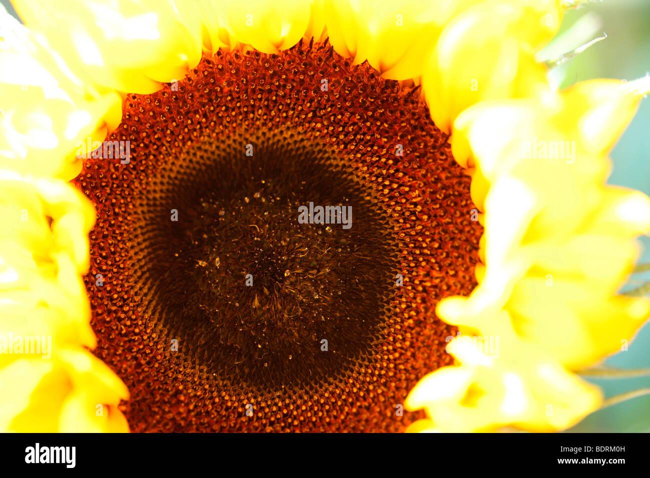 Glocke beeindruckende Sonnenblumen - Fine Art Fotografie Jane Ann Butler Fotografie JABP583 Stockbild