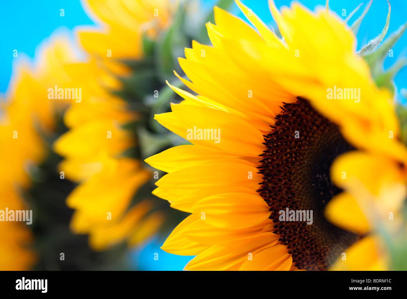 eine Gruppe von schönen Sonnenblumen in einem zeitgenössischen Stil ...