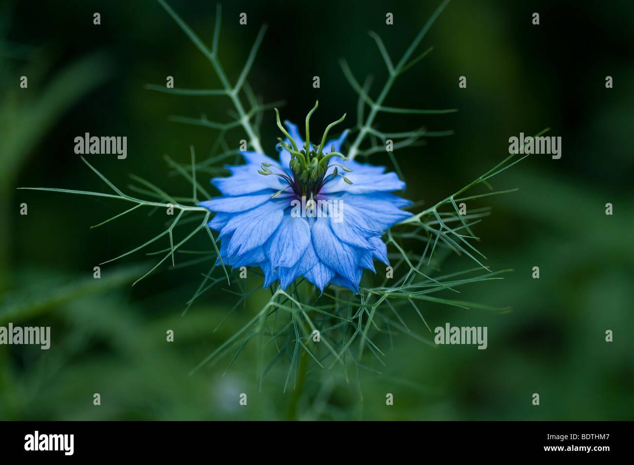 Nigella Damascena Love-in-a-mist einzelne Blume mit detail Stockfoto