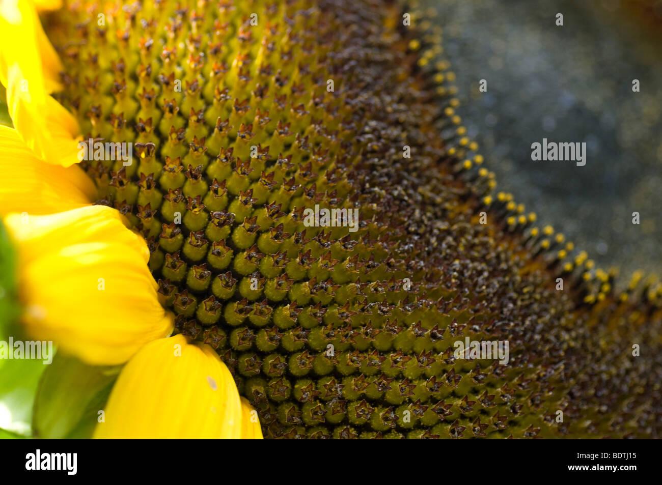 Sonnenblume Detail mit Saatgut Kopf Stockfoto