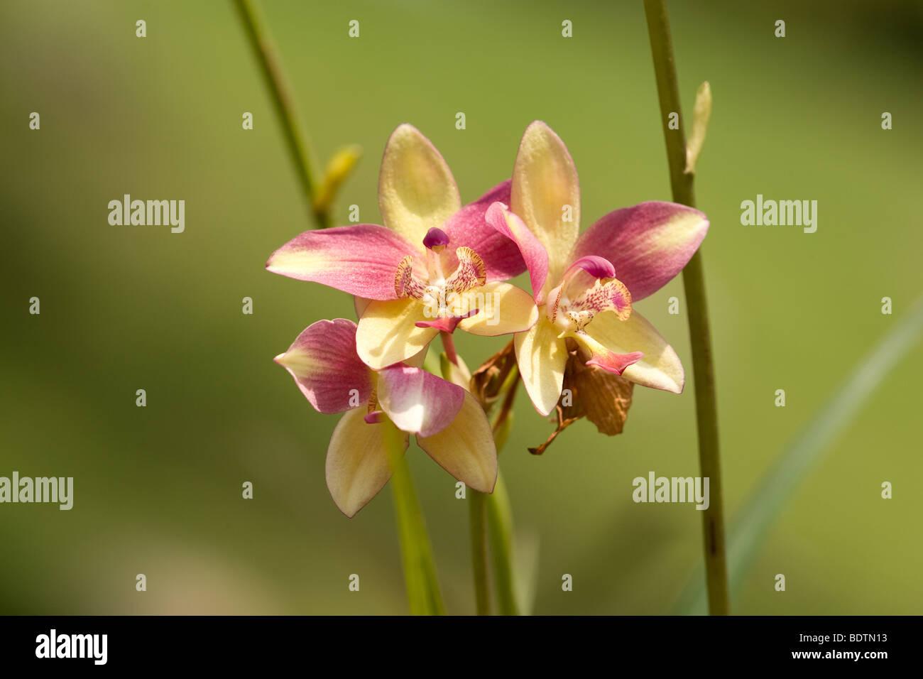 Orchideen im tropischen regenwald  Eine gemeinsame Orchideen in den tropischen Regenwald zu sehen ...