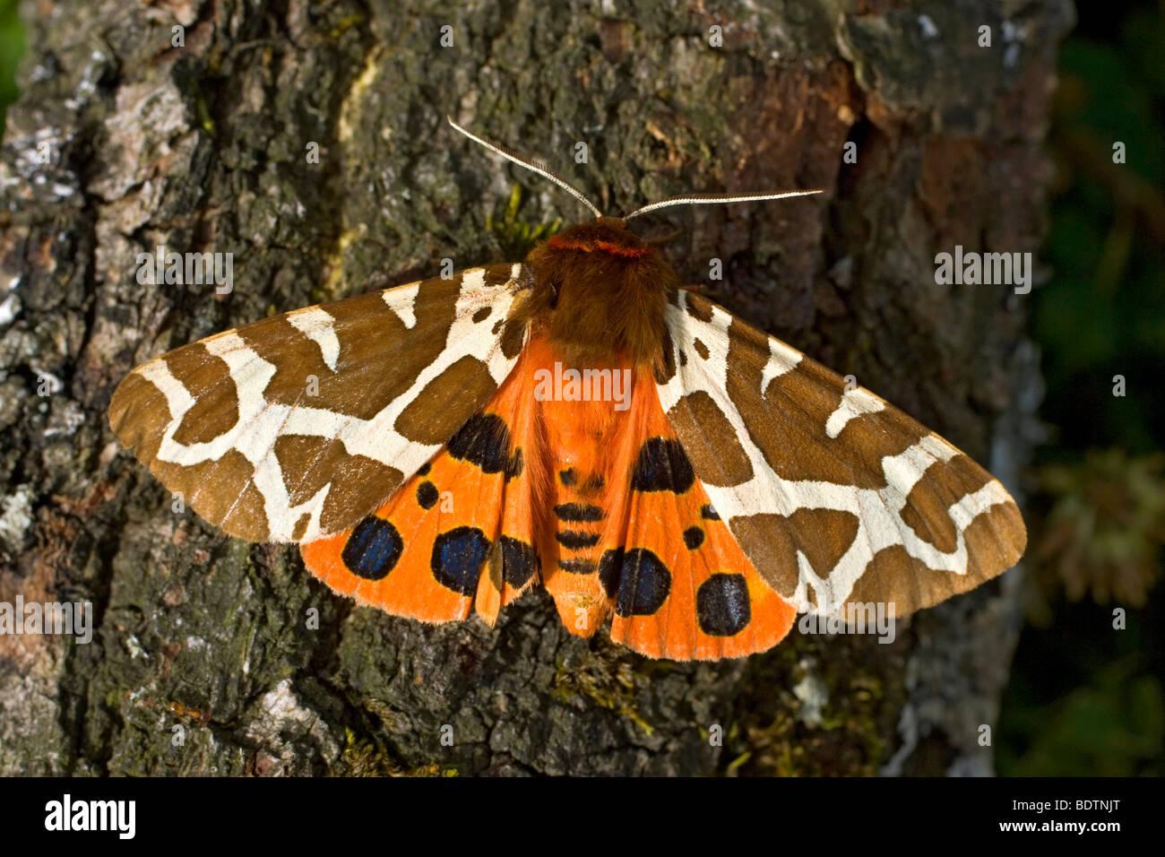 Brauner Baer, Arctia Caja, Garten Tiger moth Stockbild
