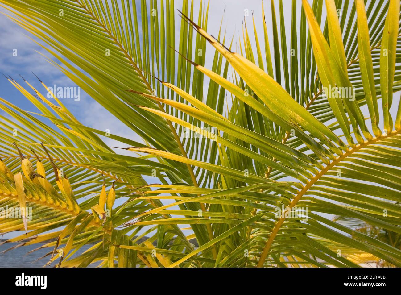 Palme am Strand, Manambato, Madgaskar, Afrika, Palmen, Strand, Madagaskar, Afrika Stockbild