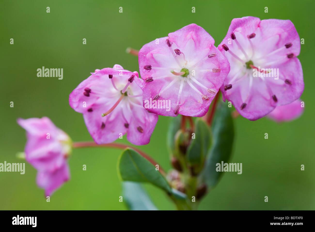 Poleiblaettrige Lorbeerrose - (Lorbeerrose) / Bog Laurel / Kalmia Polifolia Stockbild