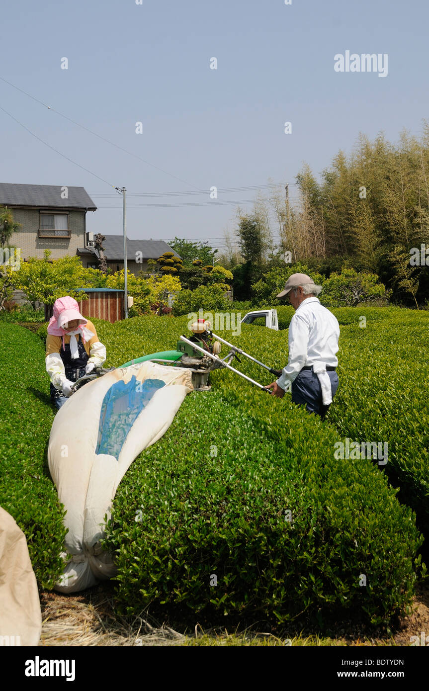 Mechanische Teeernte, Schneidemaschine mit Ventilator und Auffangsack, Sagara, Präfektur Shizuoka, Japan, Asien Stockbild