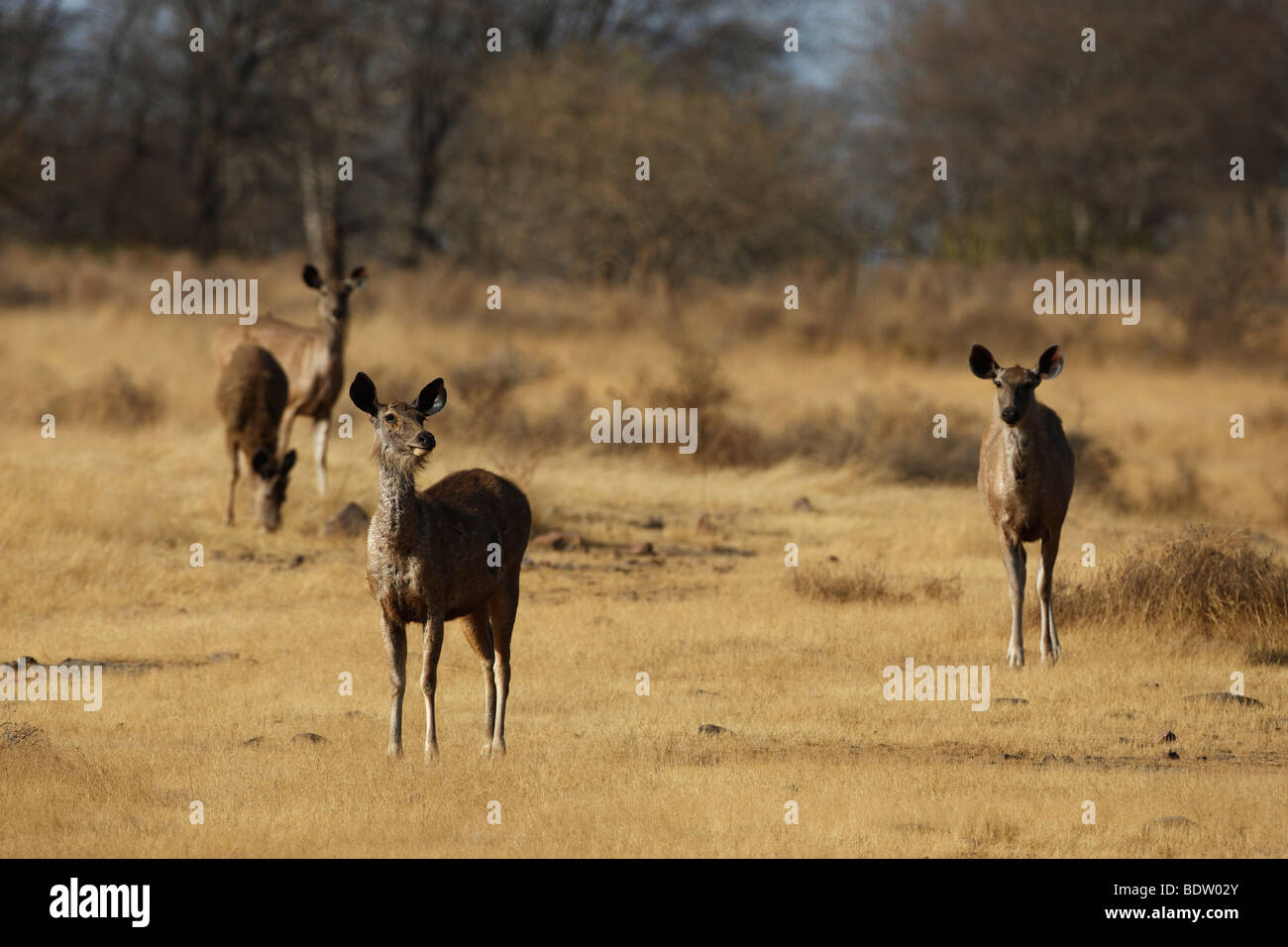 Sambarhirsch Im Khana Nationalpark, Indien, Sambar-Hirsch, Cervus unicolor, Khana Nationalpark, Indien Stockbild