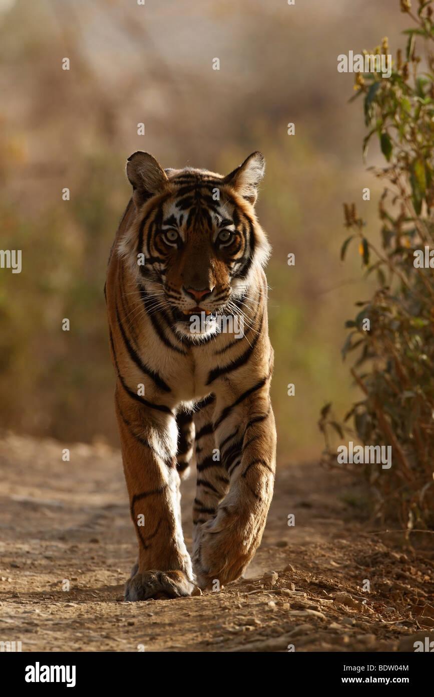 Indischer Tiger, Koenigstiger, Panthera Tigris Tigris, Indien, Asien, royal Bengal Tiger, Indien, Asien Stockbild