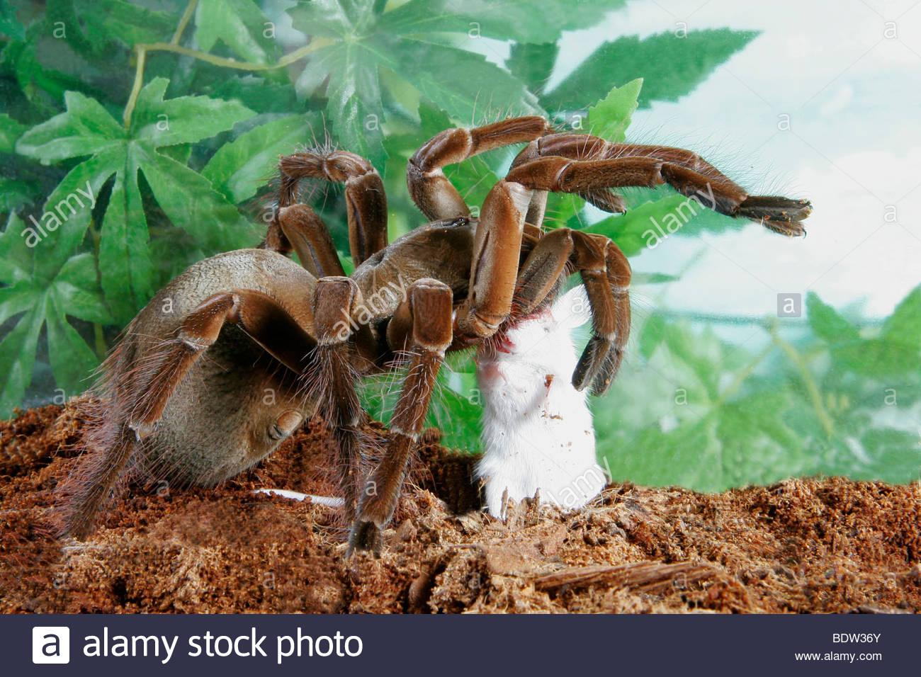 vogelspinne theraphosa blondi goliath spider stockfoto bild 25752243 alamy. Black Bedroom Furniture Sets. Home Design Ideas