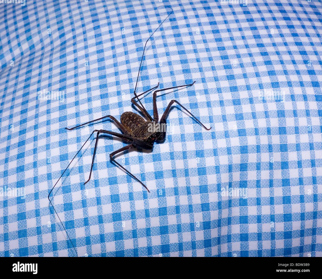 Große karibische Insekt Fehler auf ein Bettlaken! Stockbild