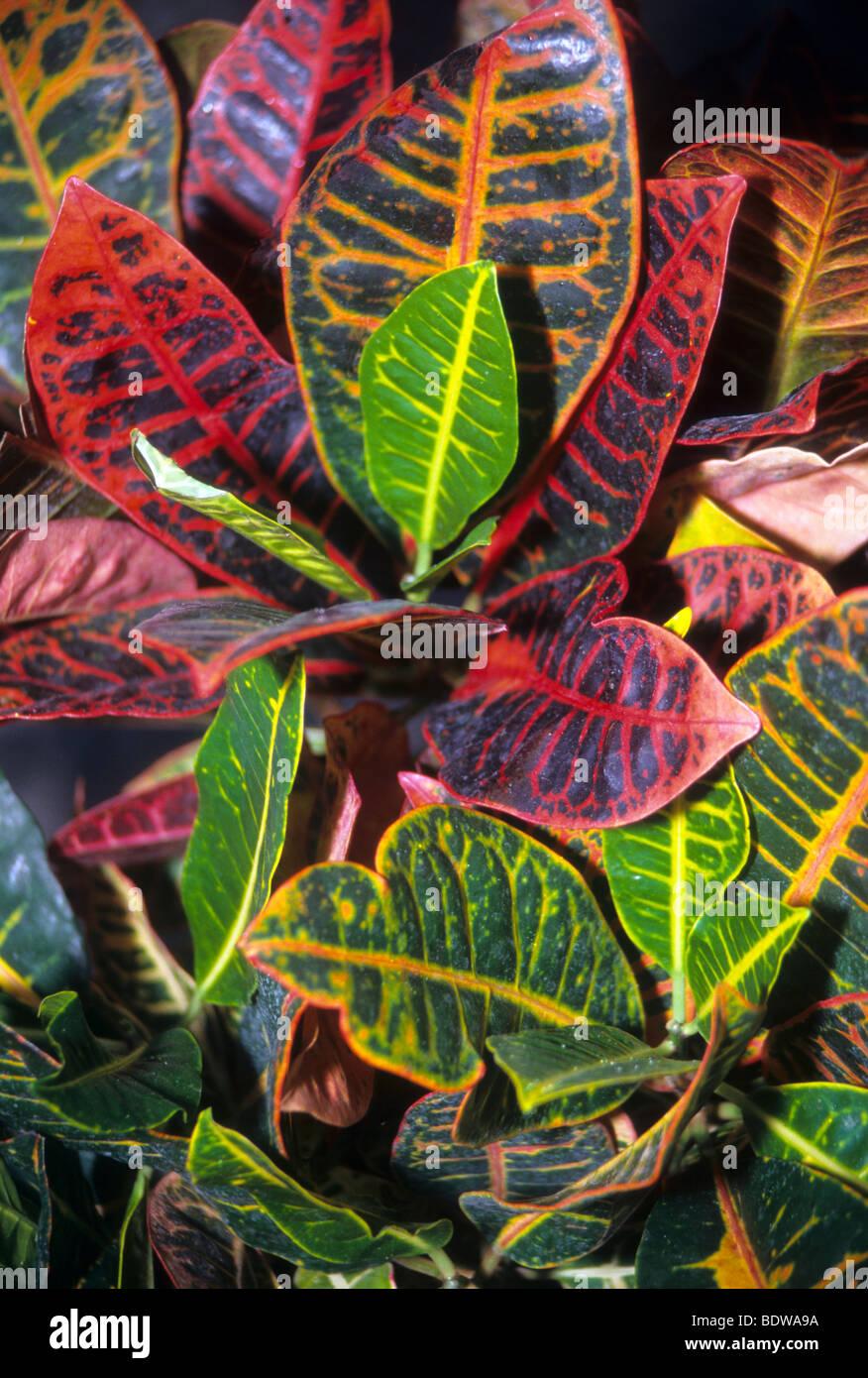 Tropische pflanze rot gr nes blatt mit offensichtlichen venen kontrast stockfoto bild - Zimmerpflanze mit roten blattern ...