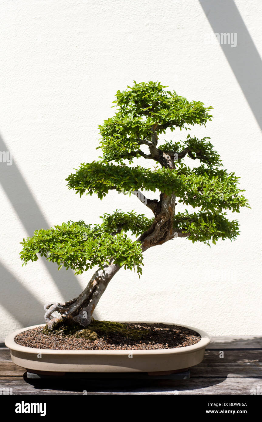 bonsai stockfotos bonsai bilder alamy. Black Bedroom Furniture Sets. Home Design Ideas