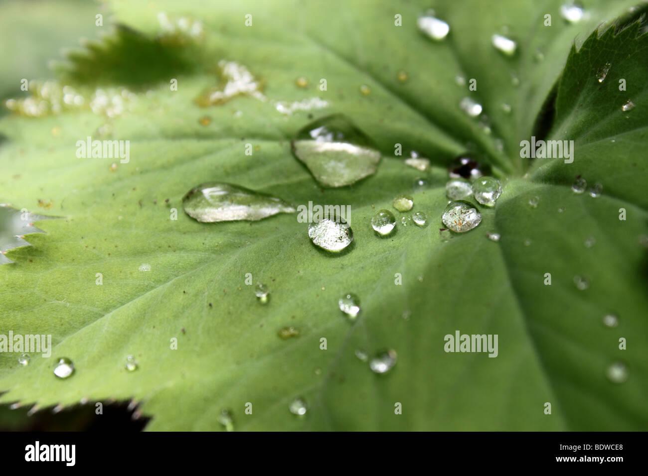 Wassertropfen auf einem Blatt Stockfoto