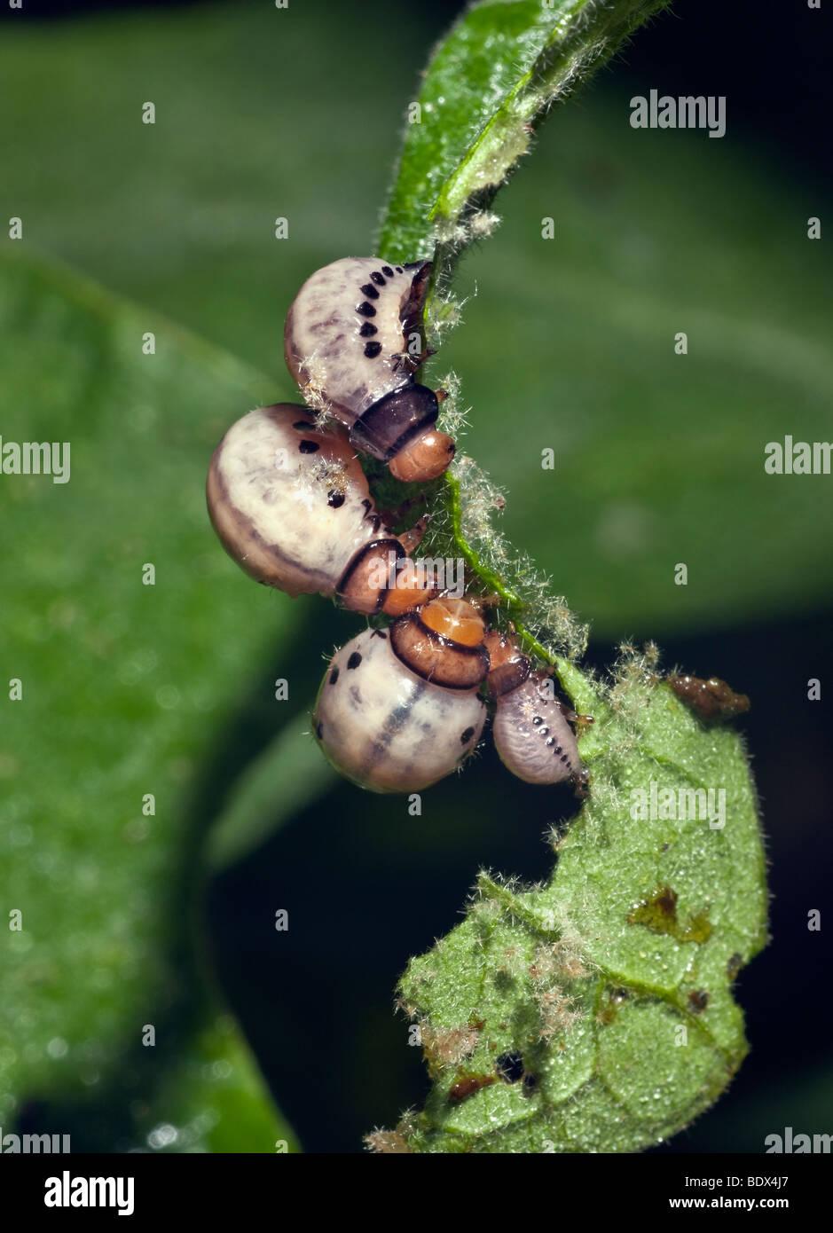 larvae stockfotos larvae bilder alamy. Black Bedroom Furniture Sets. Home Design Ideas