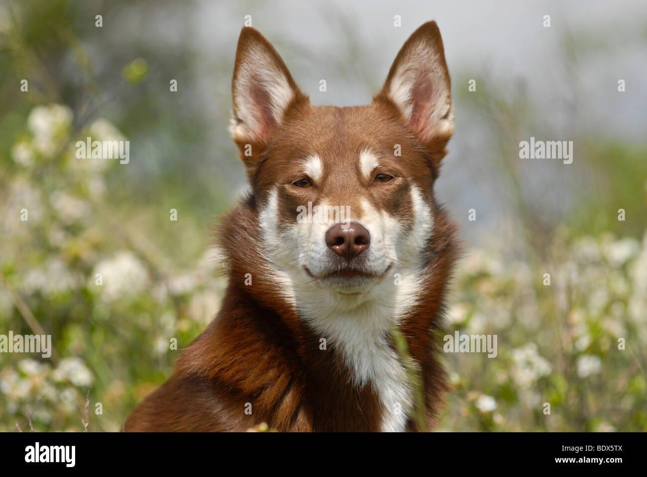 Lapponian Herder, Lapinporokoira oder Lapp Rentier Hund, Portrait in einer Blumenwiese Stockbild