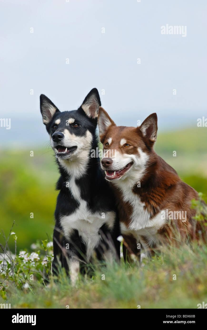 Zwei Lapponian Herder, Lapinporokoira oder Lapp Rentier Hunde sitzen auf einer Blumenwiese Stockbild
