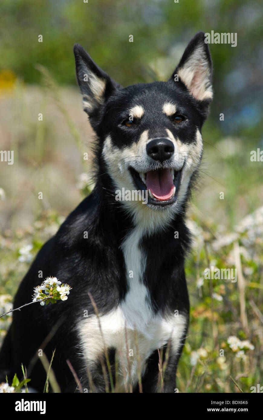 Lapponian Herder, Lapinporokoira oder Lapp Rentier Hundesitting in einer Blumenwiese Stockbild