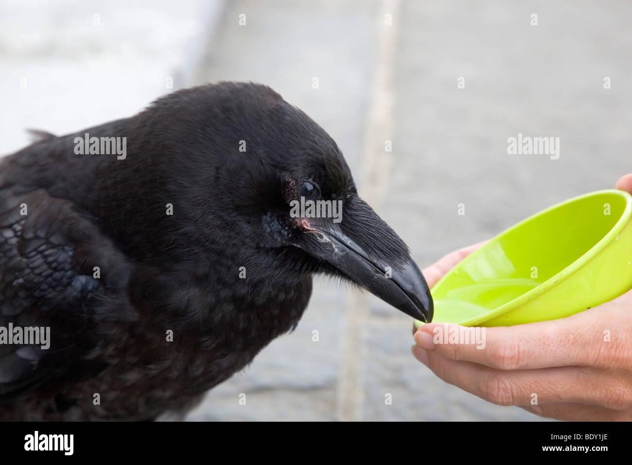 Rabe; Corvus Corax; zahme Vögel trinken Stockbild