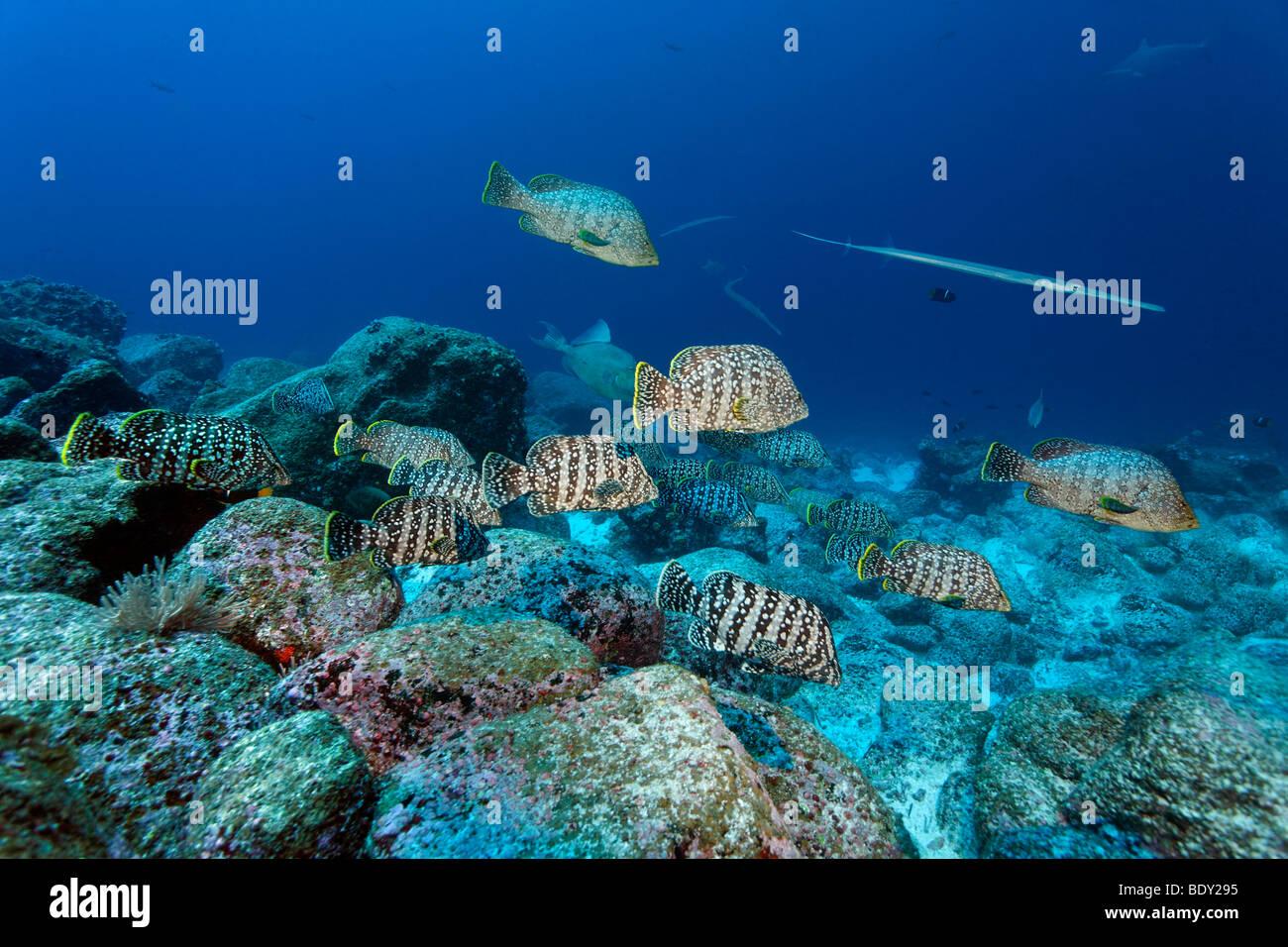 Schwarm von Leder Bässe (Dermatolepis Dermatolepis) über ein Riff, Darwin Insel, Galapagos-Archipel, UNESCO Stockbild
