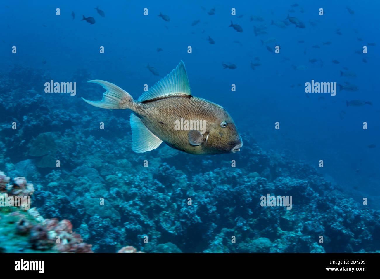 Östlichen Pazifik Drückerfisch (Balistes Polylepis), Darwin Insel, Galapagos-Archipel, UNESCO-Weltkulturerbe, Stockbild