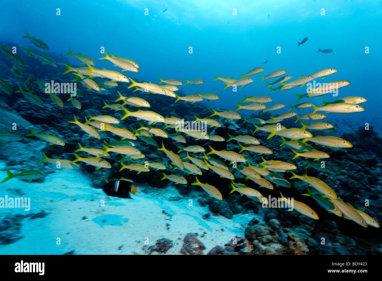 Schwarm von mexikanischen Goatfish (Mulloidithys Dentatus) schwimmen über ein Riff, Darwin Insel, Galapagos Stockbild