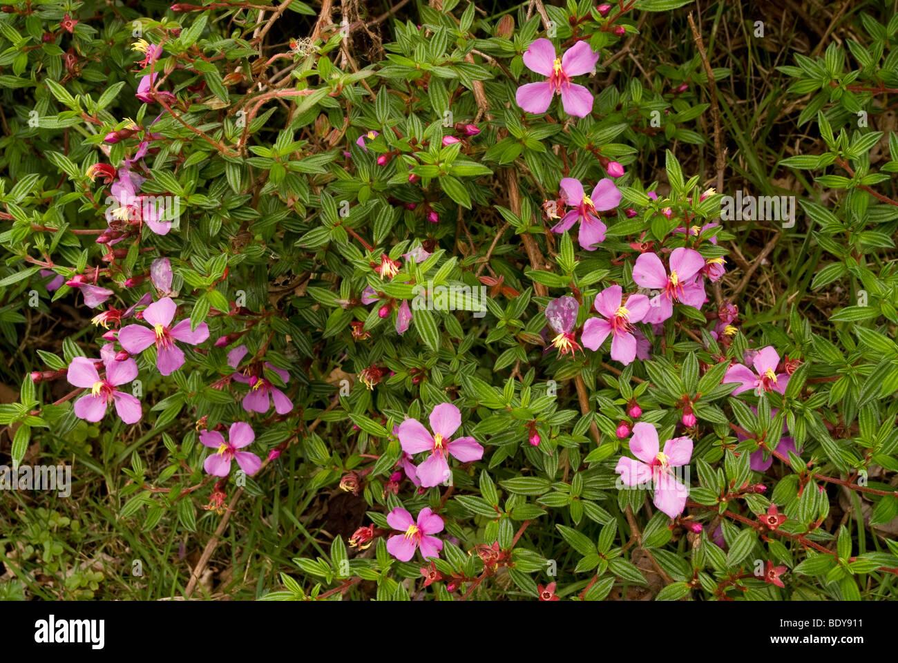 Monochaetum Amabile. Ein Strauch nach Costa Rica. Stockbild