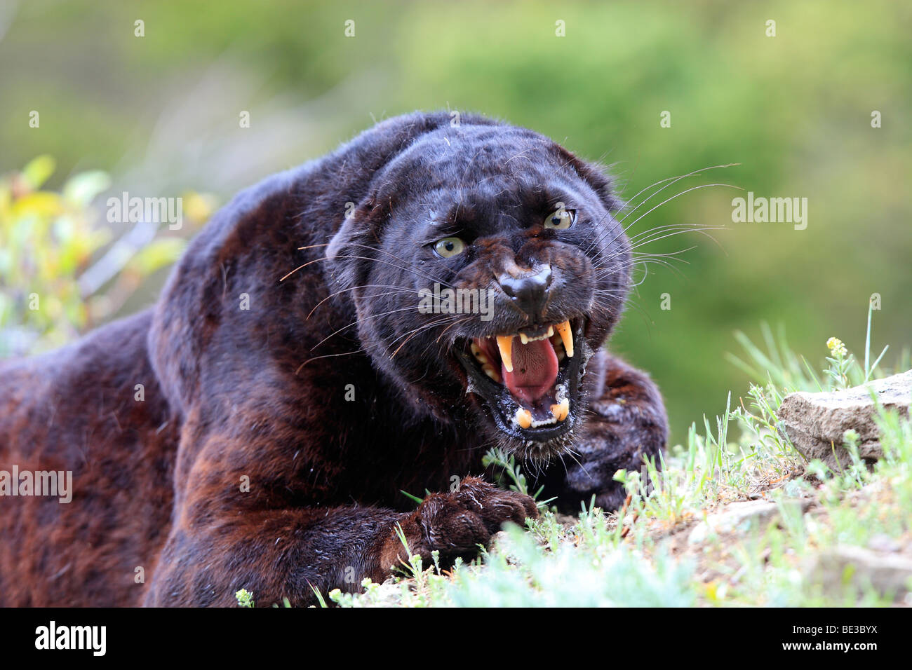 angry panther stockfotos angry panther bilder alamy. Black Bedroom Furniture Sets. Home Design Ideas