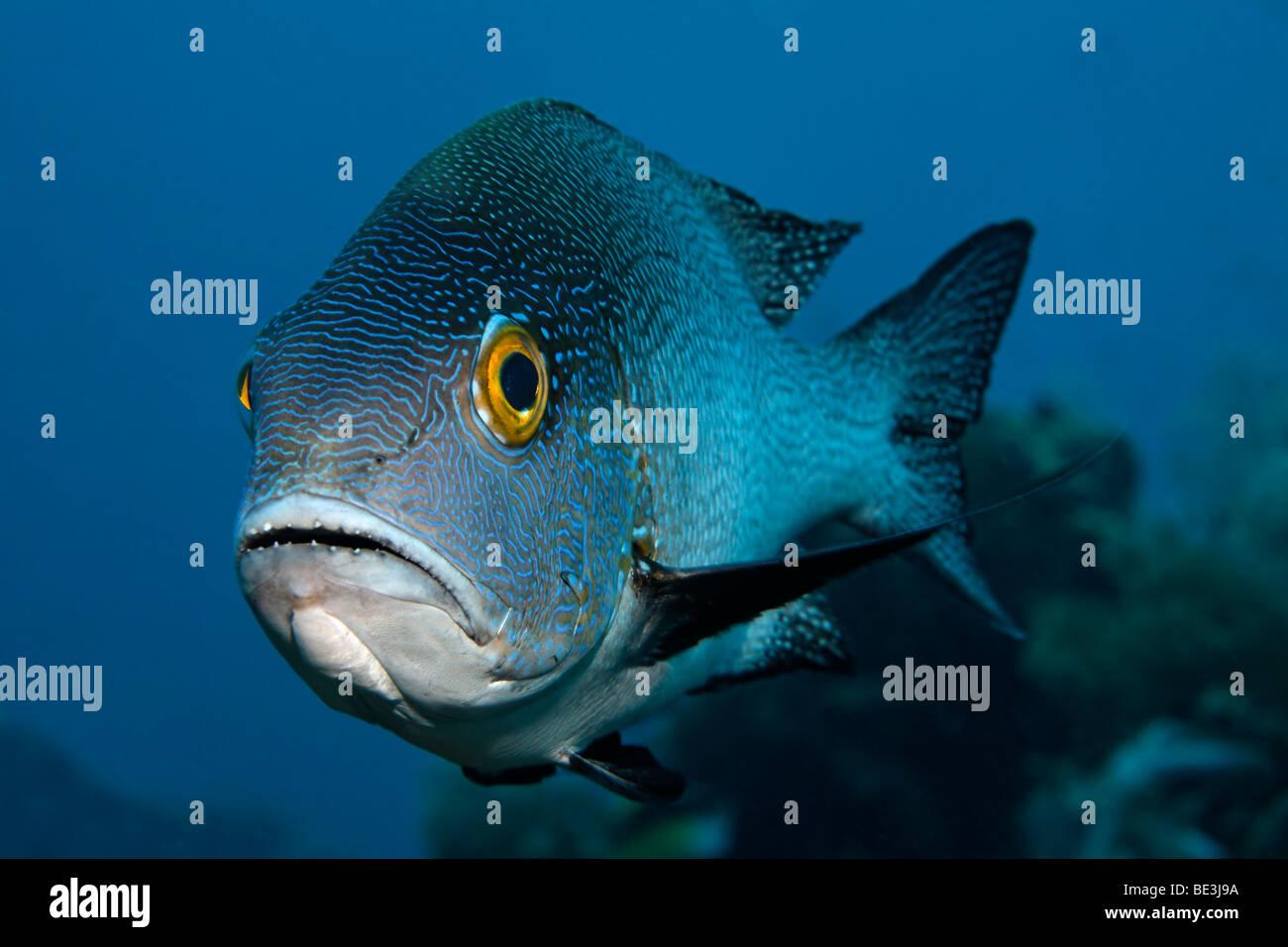 Mitternacht-Schnapper (Macolor Macularis), Kuda, Bali, Indonesien, Pazifischer Ozean Stockbild