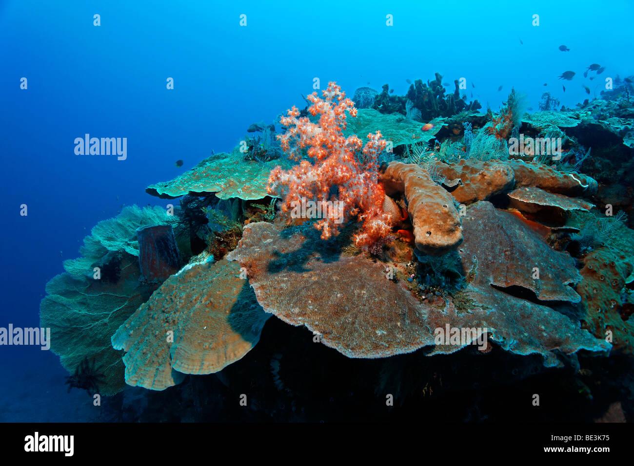Korallenriff mit verschiedenen Arten von Korallen, Kuda, Bali, Indonesien, Pazifischer Ozean Stockbild