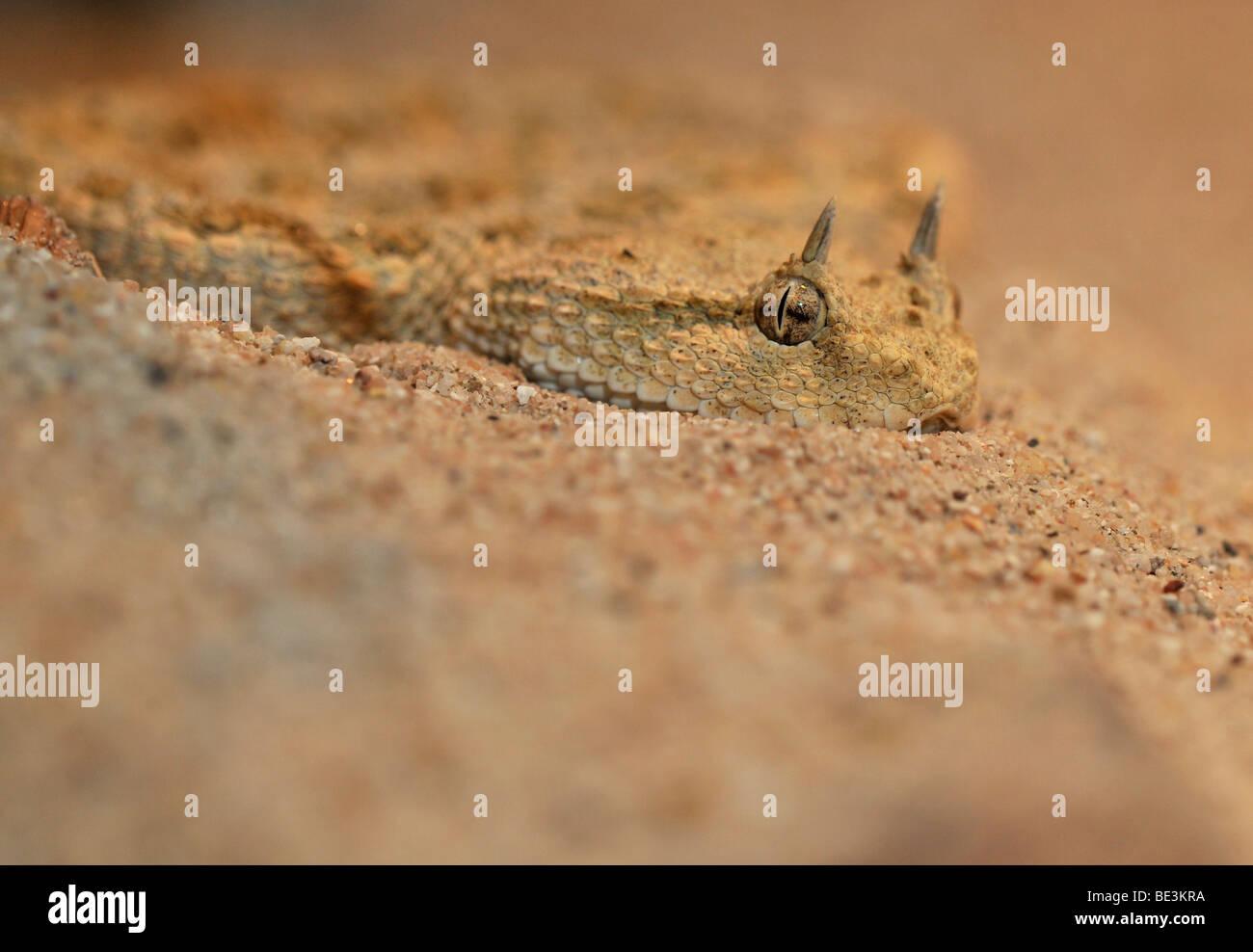 Hornotter (Cerastes Cerastes) in seinem natürlichen Lebensraum Wüste Stockbild