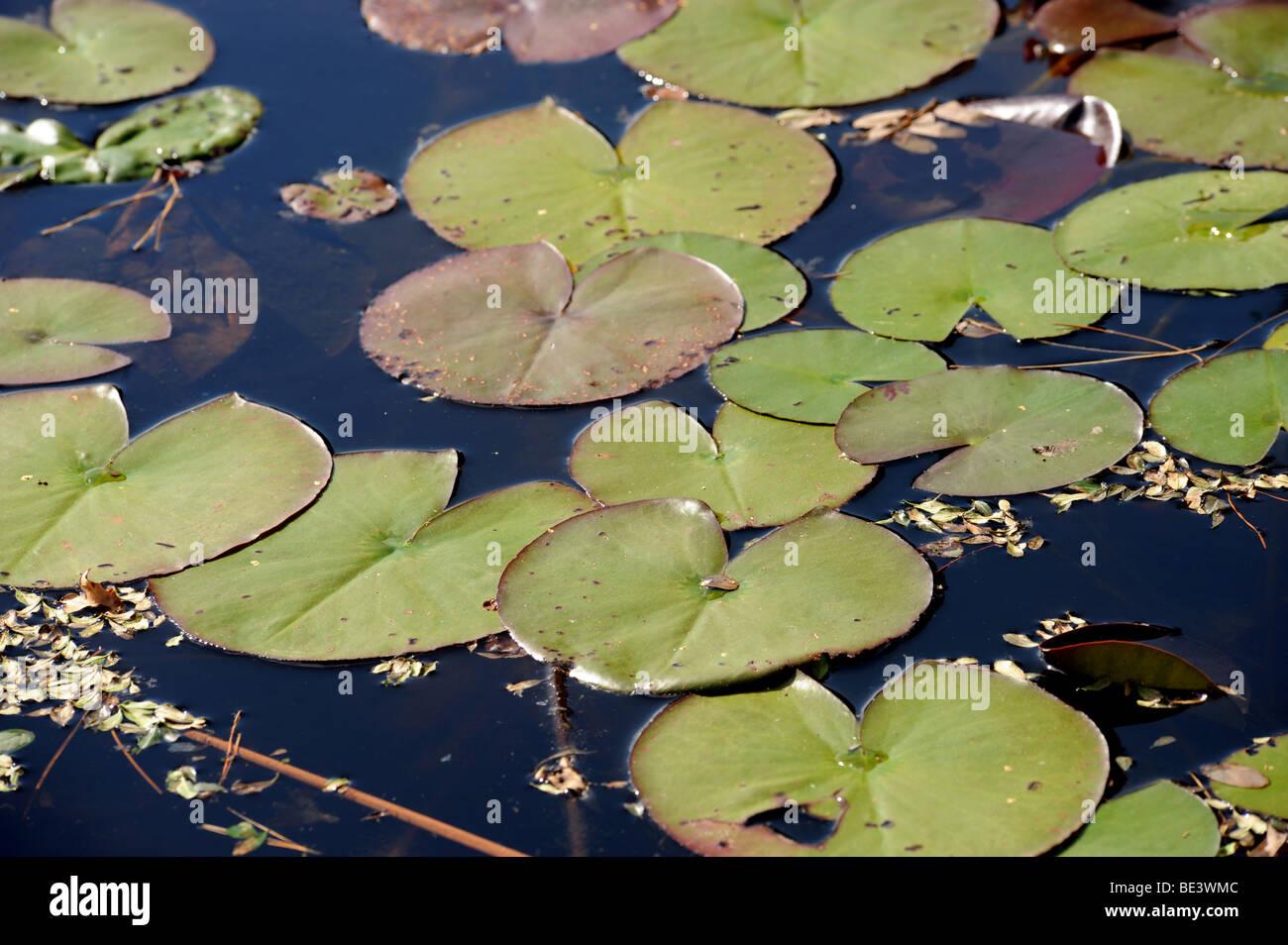 Wasser-Lilien im Garten Teich Stockbild
