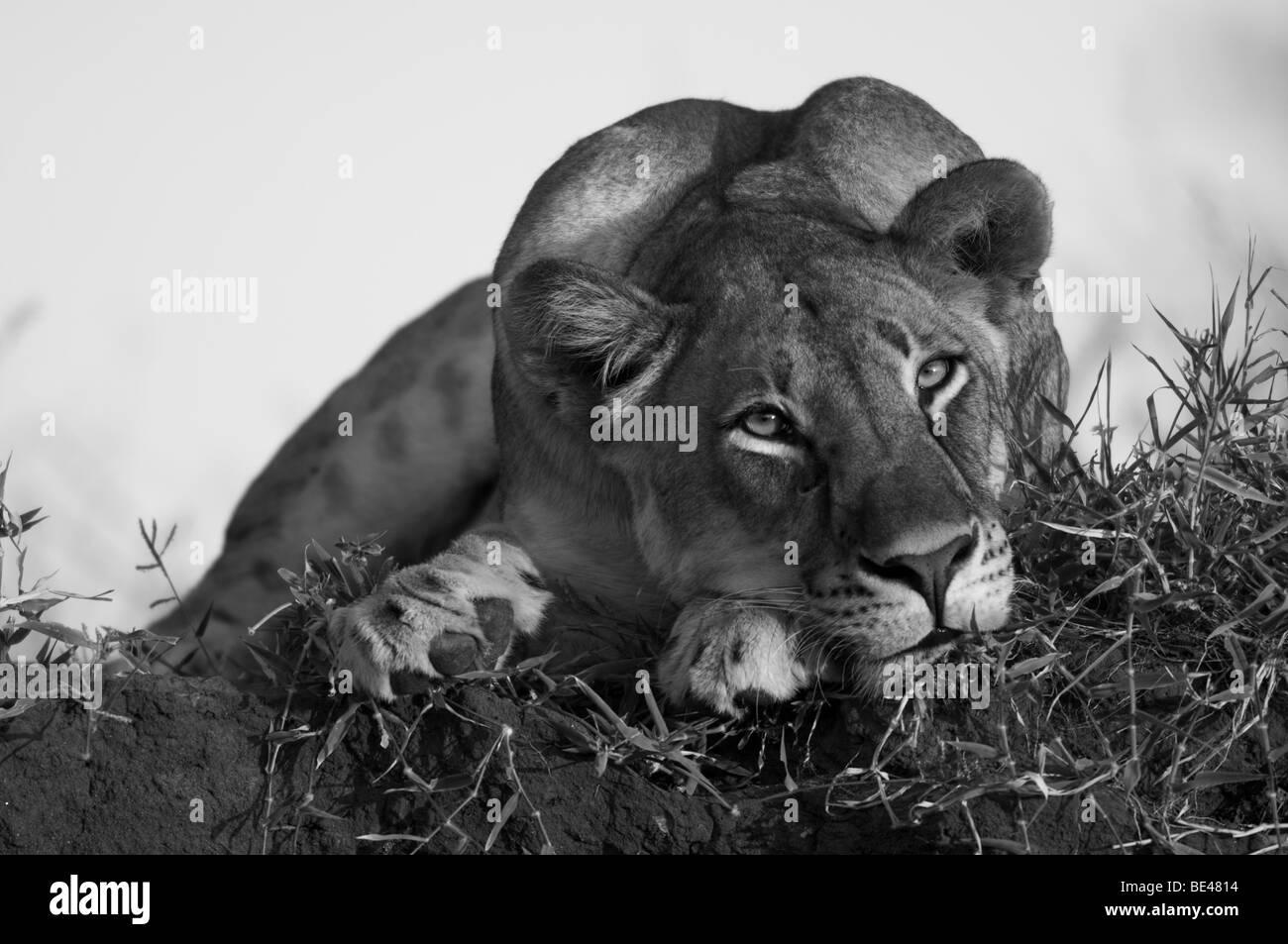 Löwe (Panthero Leo), Tuli Block, Botswana Stockbild