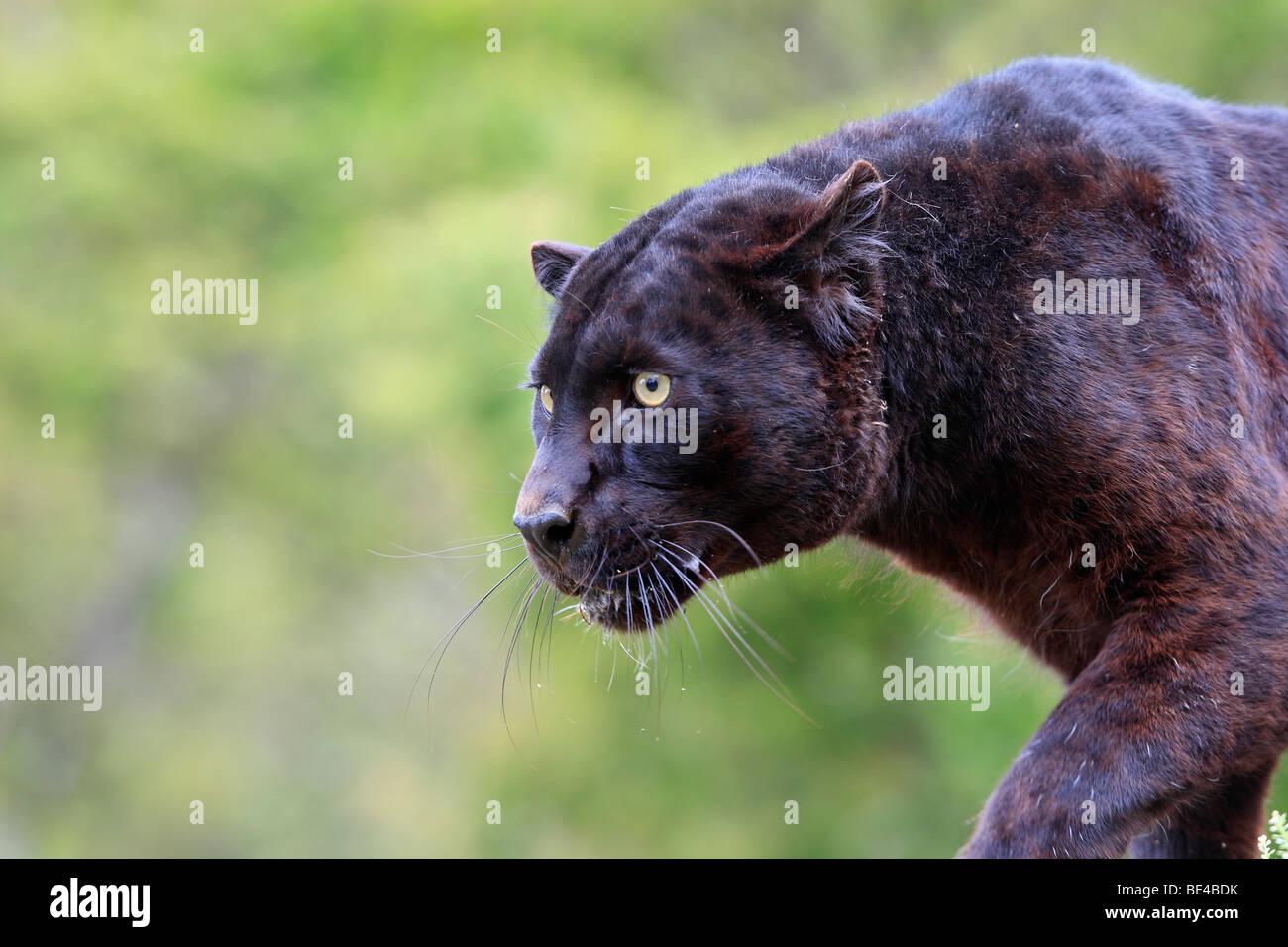 leopard black panther panthera pardus stockfotos leopard. Black Bedroom Furniture Sets. Home Design Ideas