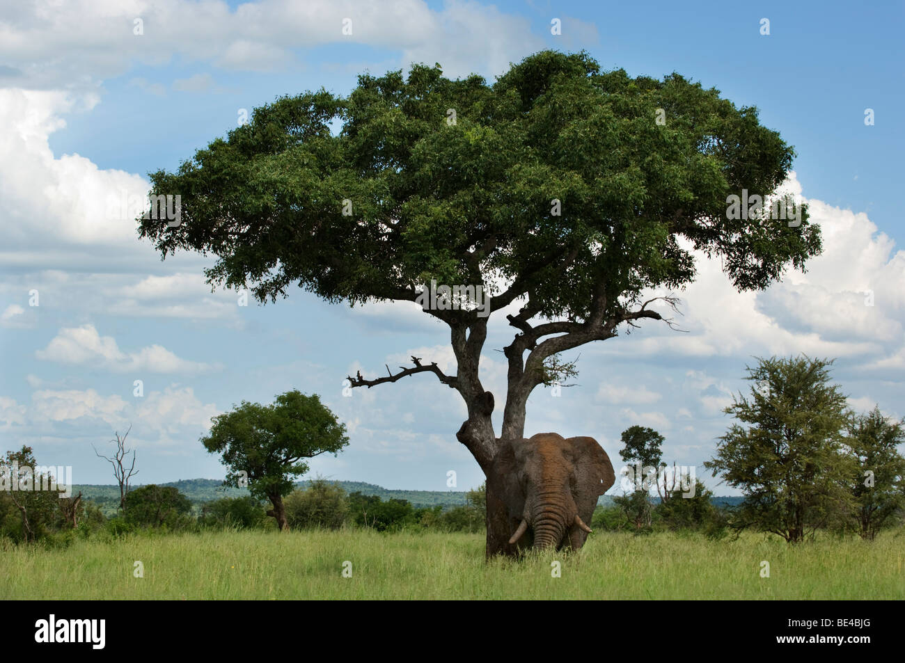 afrikanischer elefant unter einem marula baum loxodonta africana africana kr ger nationalpark. Black Bedroom Furniture Sets. Home Design Ideas