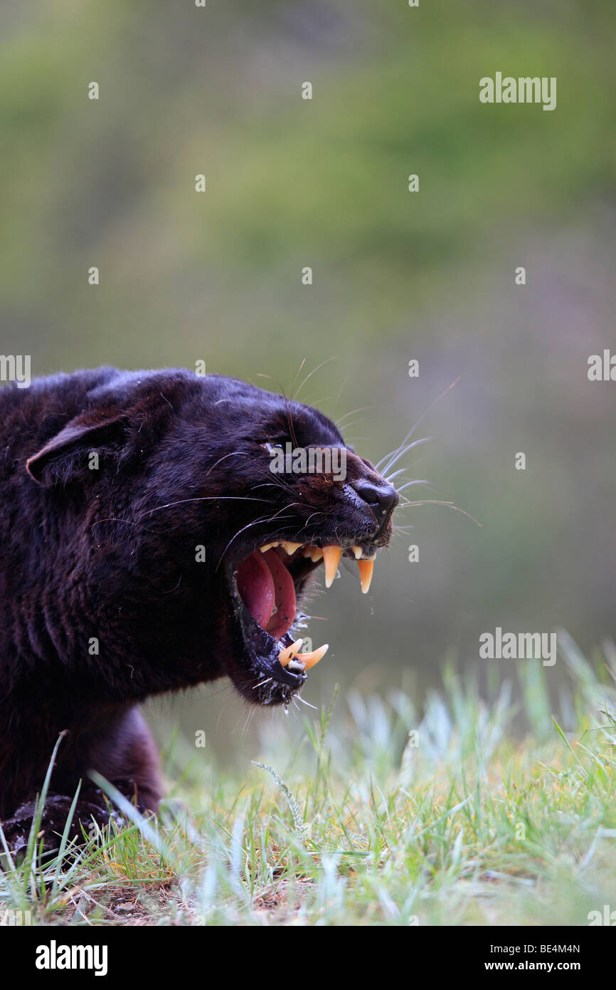 leopard black panther panthera pardus stockfotos leopard black panther panthera pardus bilder. Black Bedroom Furniture Sets. Home Design Ideas