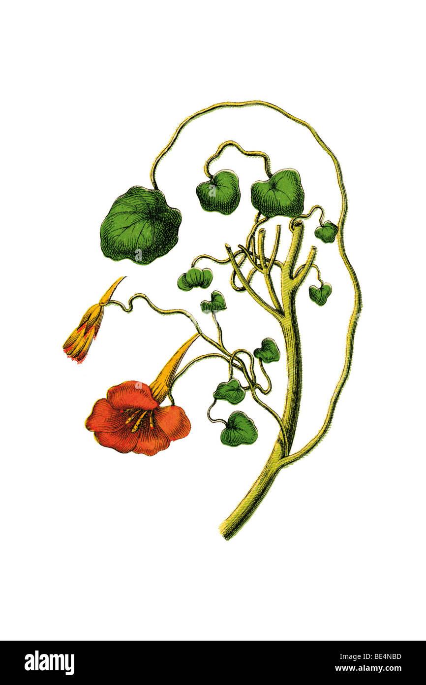 Kapuzinerkresse, historische Abbildung Stockbild