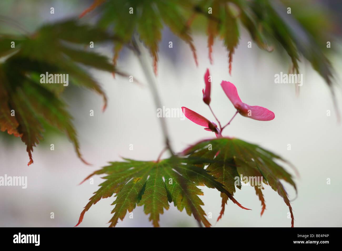 Acer Palmatum Seiryu Baum Sommer Autumn Saison-Fine Art Fotografie Jane Ann Butler Fotografie JABP598 Stockbild