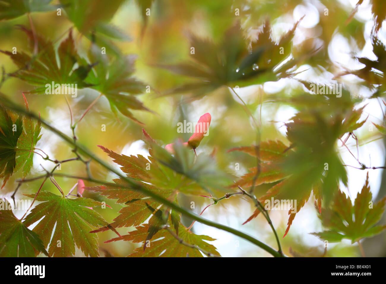 Acer Palmatum Masu Kagami Baum Sommer bis Herbst Jahreszeit ändern - Fine Art Fotografie Jane Ann Butler Fotografie Stockbild