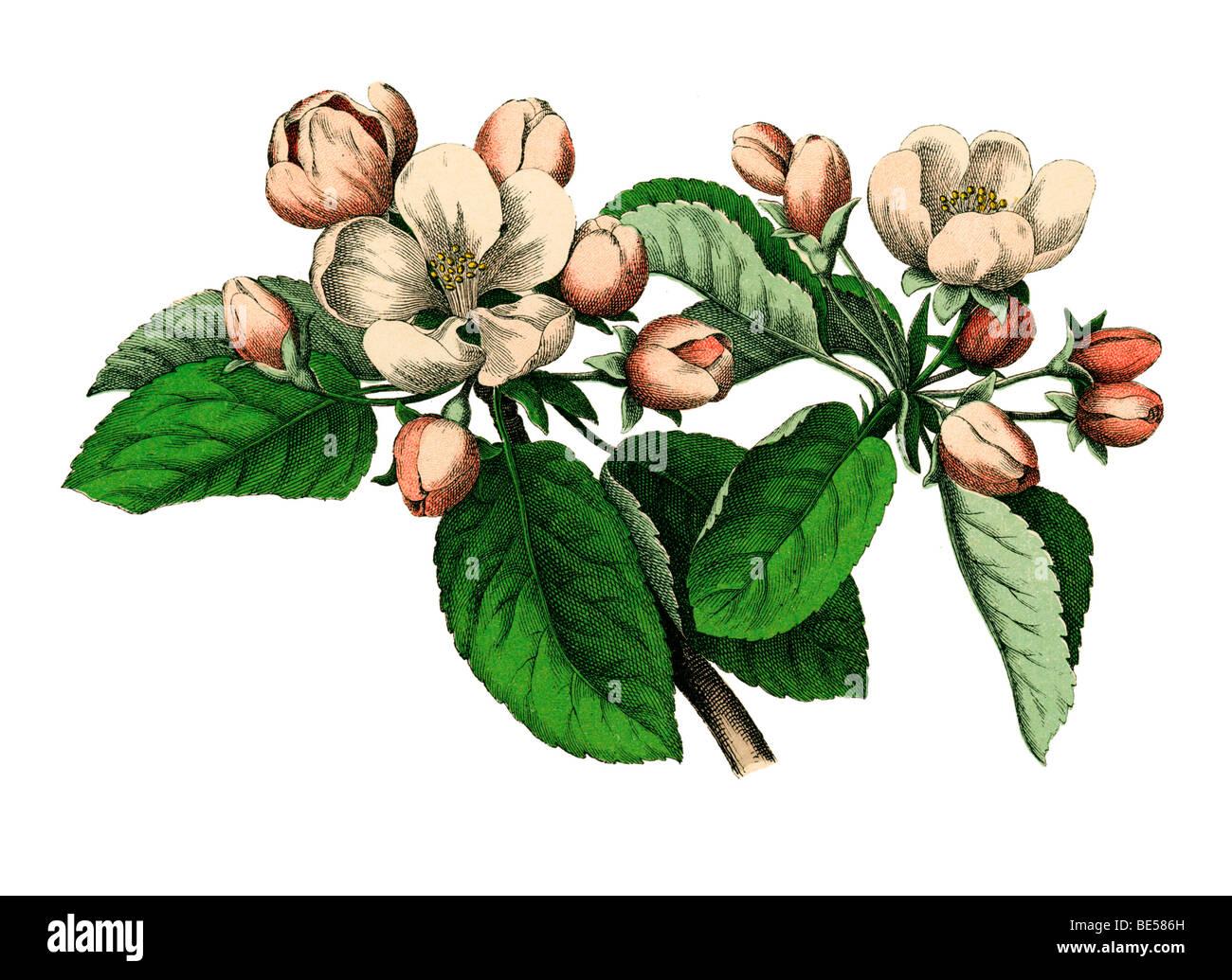 Apfelblüten, historische Illustration aus: Moritz Willkomm: Naturgeschichte des Pflanzenreichs, Naturgeschichte Stockbild