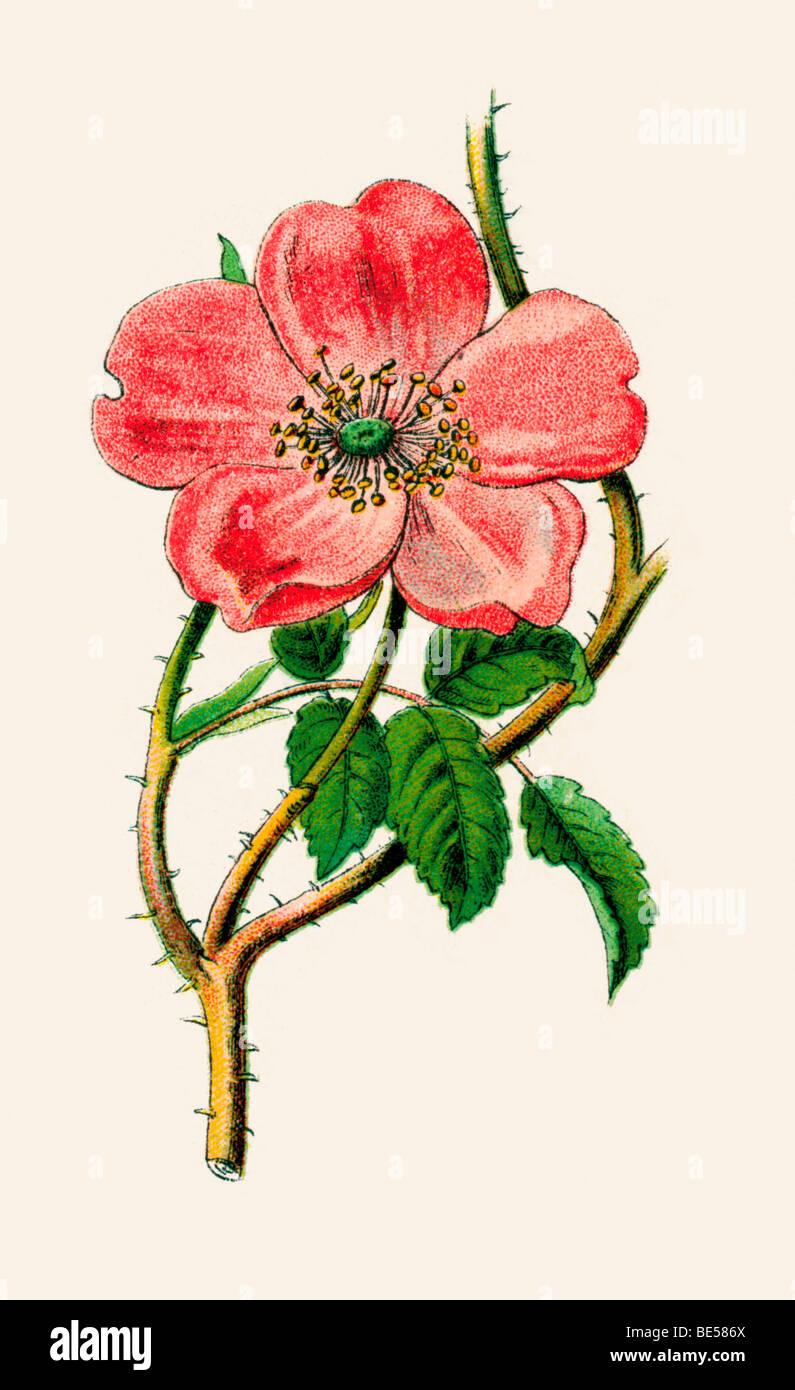 Alpine Rose, historische Illustration aus: Palitzsch: Pflanzenbuch, Plant Book, 1910, s. 53 Stockbild