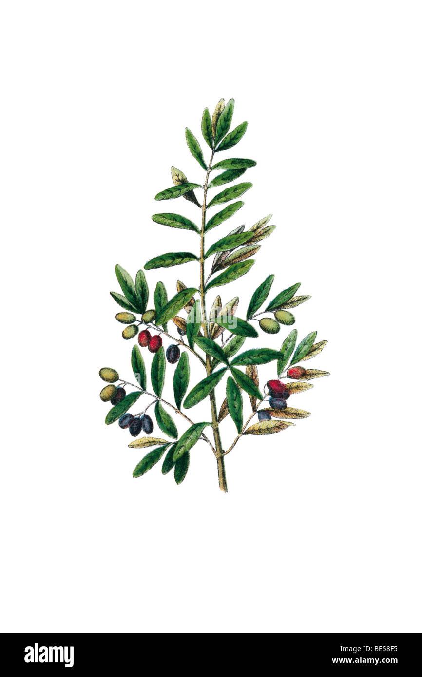 Oliven, historische illustration Stockbild