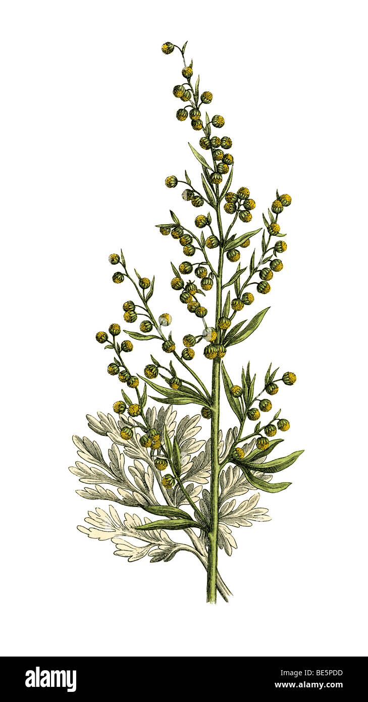 Wermut, historische Abbildung Stockbild