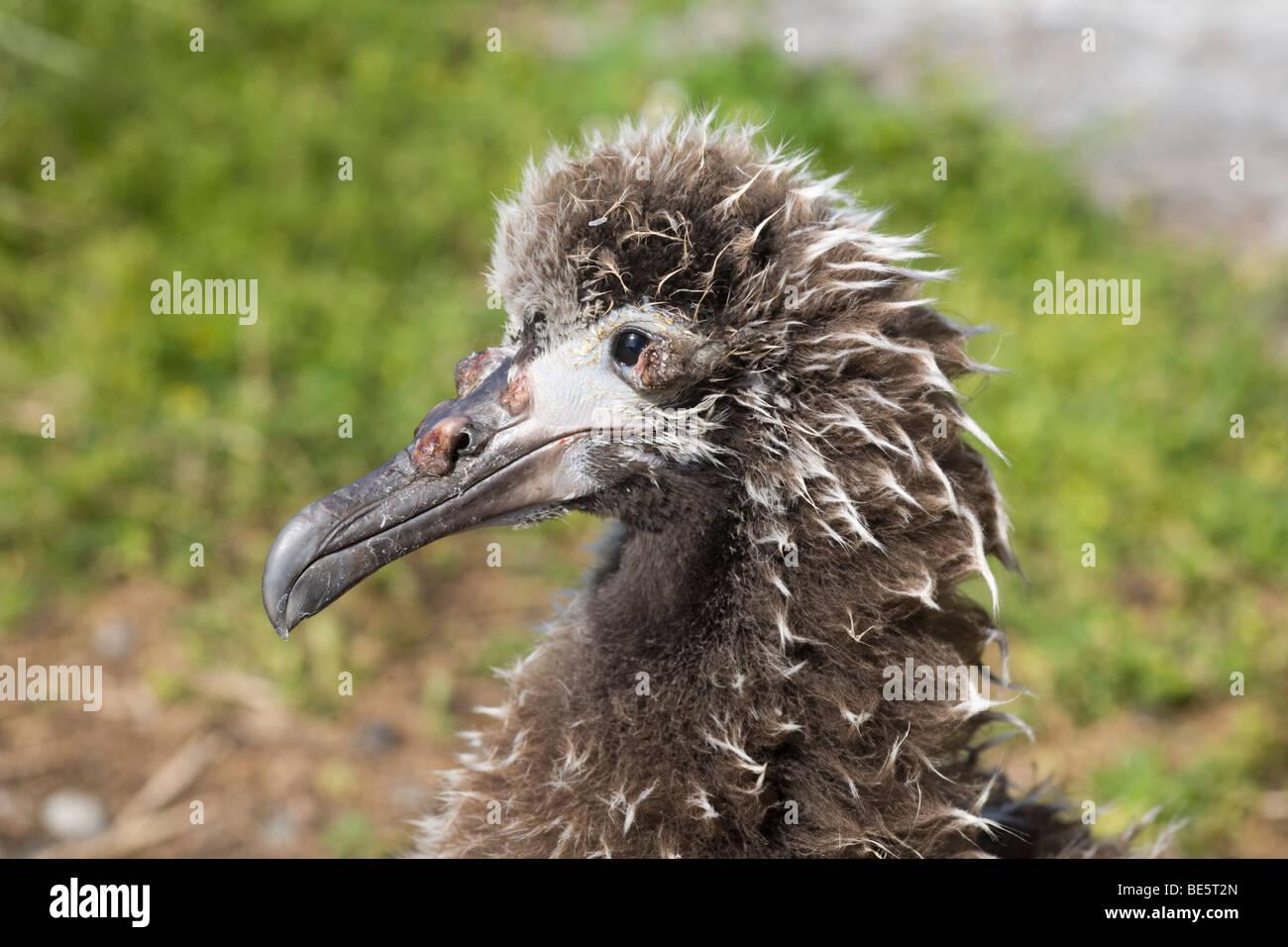Vogelgrippe Pox Krankheit in einem Laysan Albatros Küken (Phoebastria Immutabilis) Stockbild