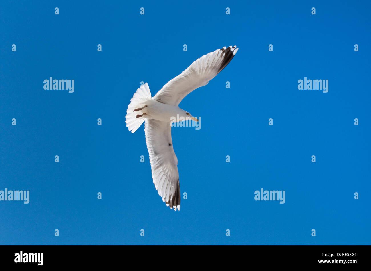 Silbermöwe (Largus Argentatus) im Flug Stockbild
