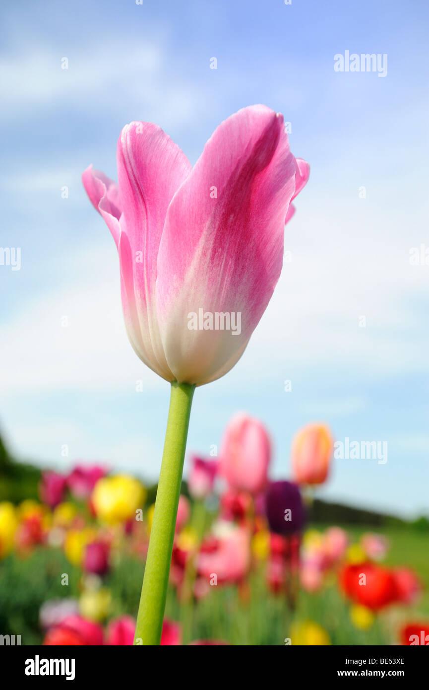 Tulpen auf einer Wiese in der Nähe von Ambach, Starnberger See ...