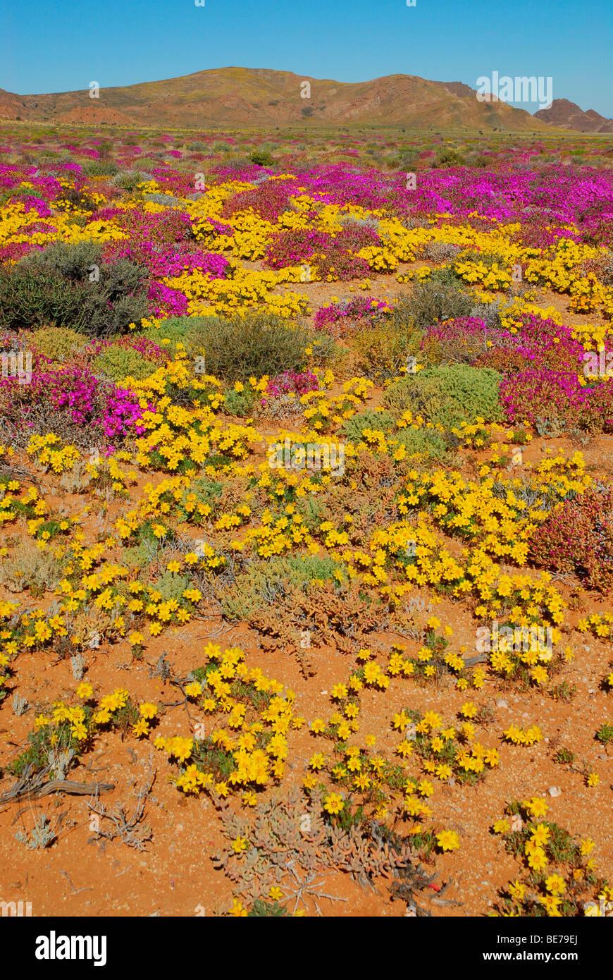 Blumen nach starken Regenfällen in der Sukkulenten Karoo, Namaqualand, in der Nähe Aus, Namibia  ~ 13213225_Sukkulenten Nach Der Blüte Abschneiden