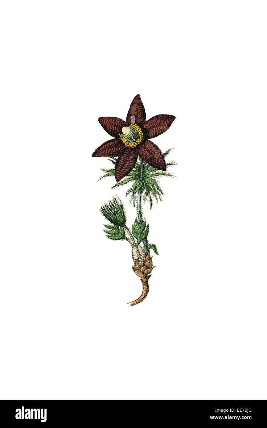 Anemone, historische Abbildung Stockbild