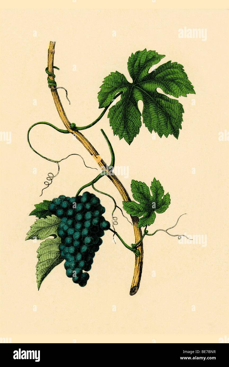 Wein, historische Abbildung Stockbild