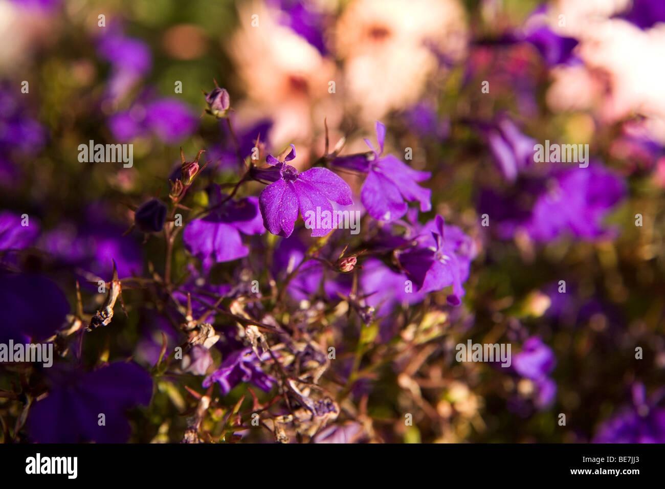 Welche Blumen Blühen Im September lila labilia blumen in nordengland die blumen blühen im september