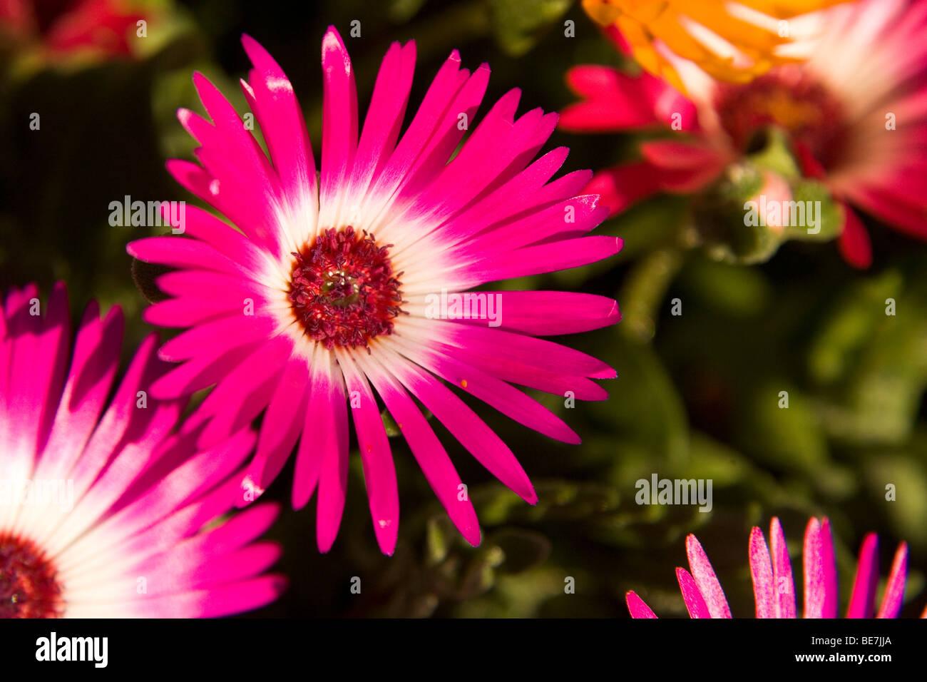 Welche Blumen Blühen Im September eine lila livingston blume in nordengland die blumen blühen